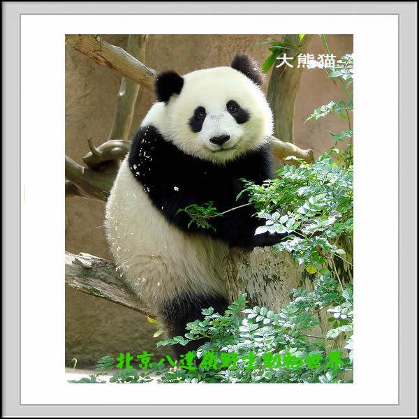大熊猫/熊园 - 八达岭野生动物园之网上动物园
