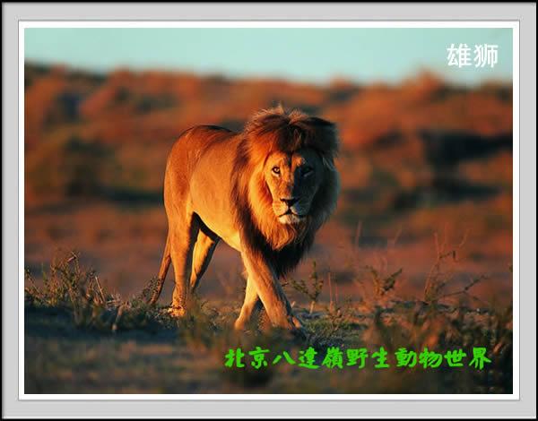 八达岭野生动物世界景点之狮子园